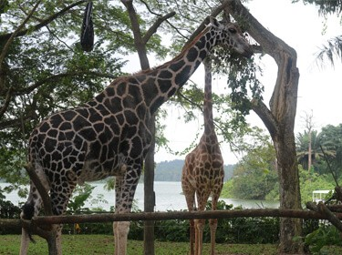 Singapore Zoo, 5D-4N Singapore City tour